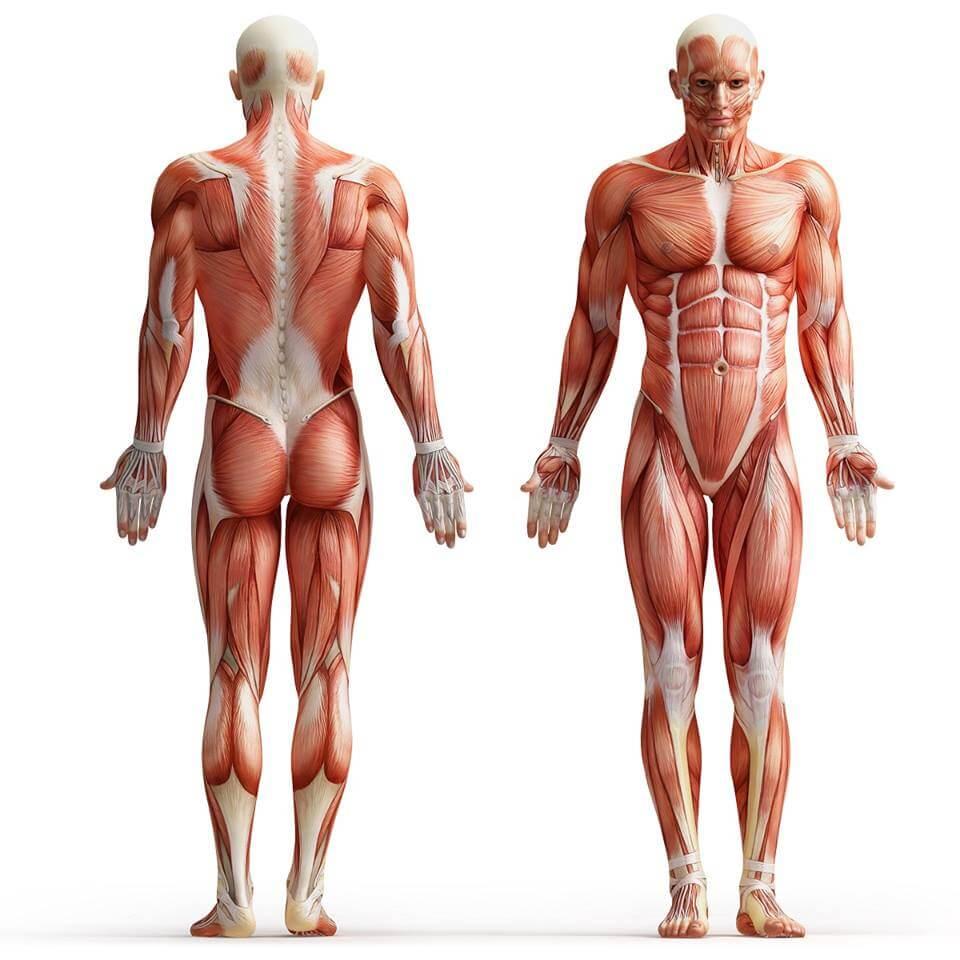 мышечный скелет человека